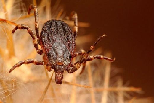 Более сотни смолян заразились опасными болезнями после укусов клещей