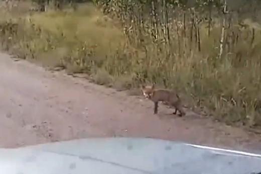 В Смоленской области лисёнок стал героем видеоролика